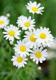 White daisy in grass Stock Images
