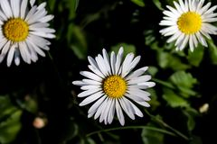 White Daisy on grass with yellow pollen. On sunny day Royalty Free Stock Photography