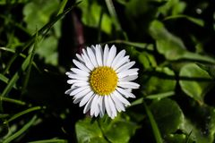 White  daisy on grass with yellow pollen. On a sunny day Royalty Free Stock Images