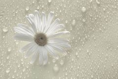 White Daisy on gray background drops of water. White chamomile on grey water drop background, for design stock images