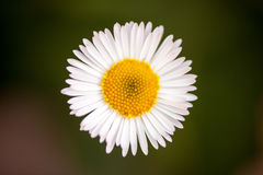White daisy on green background Royalty Free Stock Photography