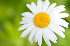 White daisy on a green background. Royalty Free Stock Image