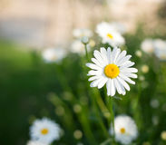 White daisy,. White daisy with green background Royalty Free Stock Images