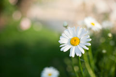 White daisy. With green background Stock Image