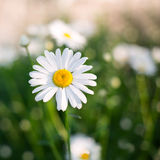 White daisy. With green background Royalty Free Stock Photography