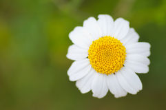 White daisy in green background Stock Photography