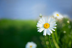 White daisy. With green and blue background Royalty Free Stock Images