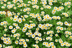 White daisy green field background. Summer white daisy green field background Stock Image