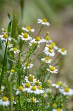 White daisy on green field. Blurred background,selective focus stock photography
