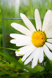 White daisy in green gras Stock Images