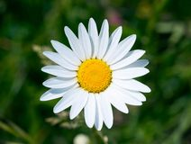 White daisy on green grass Stock Image