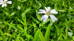 White Daisy in the green grass. Stock Photography
