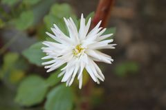 White daisy with green leaves growing in the garden in summer. White daisy flower with green leaves blooms growing in a garden in summer stock image