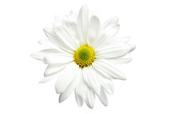 White daisy isolated Stock Image