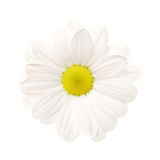 White daisy isolated. [with clipping path Stock Images