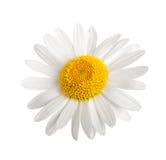 White daisy. Isolated on white background Stock Photos