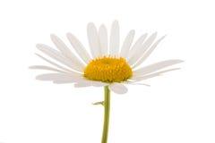 White daisy Royalty Free Stock Photos