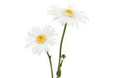 White daisy isolated Royalty Free Stock Photography