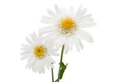 White daisy isolated Stock Photo