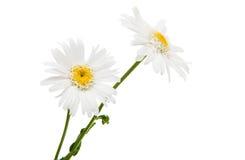 White daisy isolated Stock Image