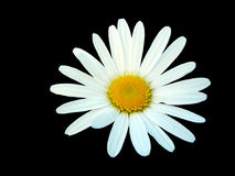 White daisy isolated on black background royalty free stock images