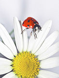 White daisy and ladybug Royalty Free Stock Photo