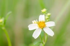 White daisy or Leucanthemum vulgare Stock Photos