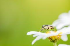 White daisy or Leucanthemum vulgare Stock Photography