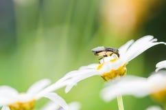 White daisy or Leucanthemum vulgare Royalty Free Stock Images
