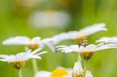 White daisy or Leucanthemum vulgare Royalty Free Stock Photos