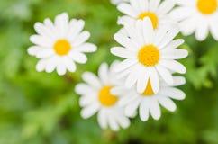 White daisy or Leucanthemum vulgare Stock Image