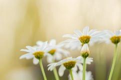 White daisy or Leucanthemum vulgare Royalty Free Stock Image