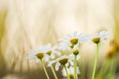 White daisy or Leucanthemum vulgare Royalty Free Stock Photo