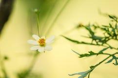 White daisy or Leucanthemum vulgare Stock Photo
