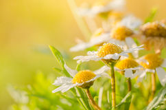 White daisy or Leucanthemum vulgare and water drops Royalty Free Stock Photography