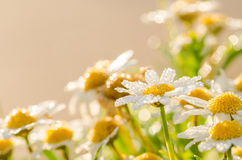 White daisy or Leucanthemum vulgare and water drops Stock Photos