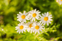 White daisy or Leucanthemum vulgare and water drops Stock Images