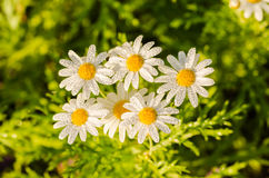 White daisy or Leucanthemum vulgare and water drops Royalty Free Stock Images