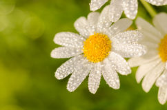 White daisy or Leucanthemum vulgare and water drops Stock Photo