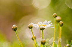 White daisy or Leucanthemum vulgare and water drops Stock Photography