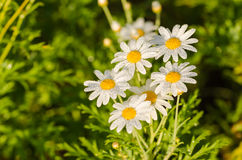 White daisy or Leucanthemum vulgare and water drops Stock Image