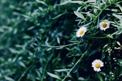 White daisy like flowers in the same branch royalty free stock photography