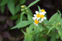 White daisy. Little white daisy in garden royalty free stock images