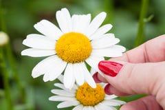 White Daisy Stock Photos