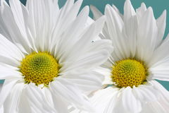 White daisy macro Stock Photography