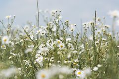 White daisy in macro. Blurred background. Nature. royalty free stock photography
