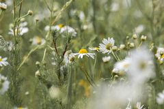 White daisy in macro. Blurred background. Nature. stock image