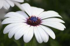 White daisy macro stock photo