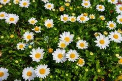 Many beautiful white daisy. White daisy with many beautiful yellow pollen royalty free stock photos