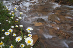 White daisy marguerite flowers. By a running creek Royalty Free Stock Photos